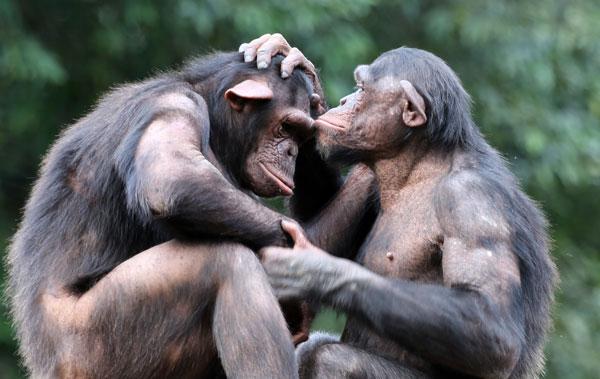 Chimpanzee Caring