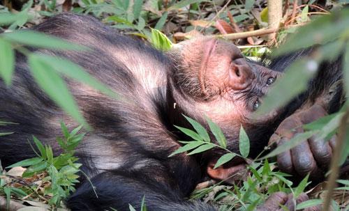 Chimpanzee Life